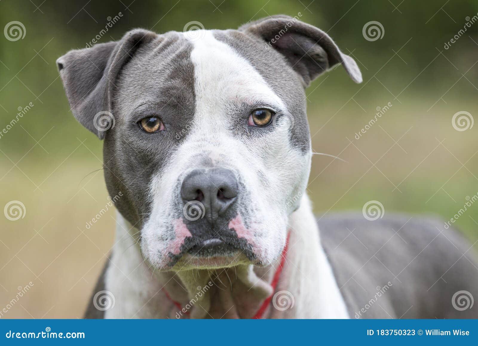 Blue Nose American Pitbull Terrier Dog Stock Image Image Of Leash Website 183750323