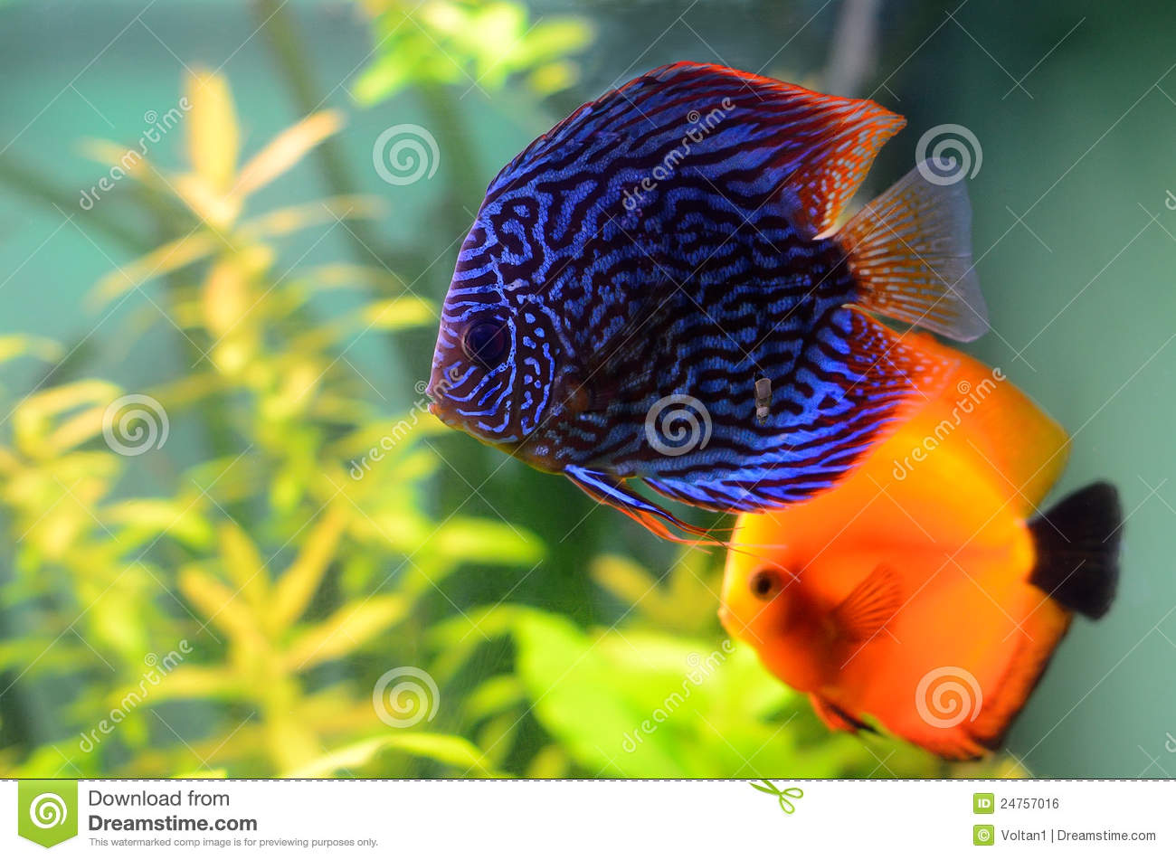 Blue and orange discus fish royalty free stock image for Pesce discus