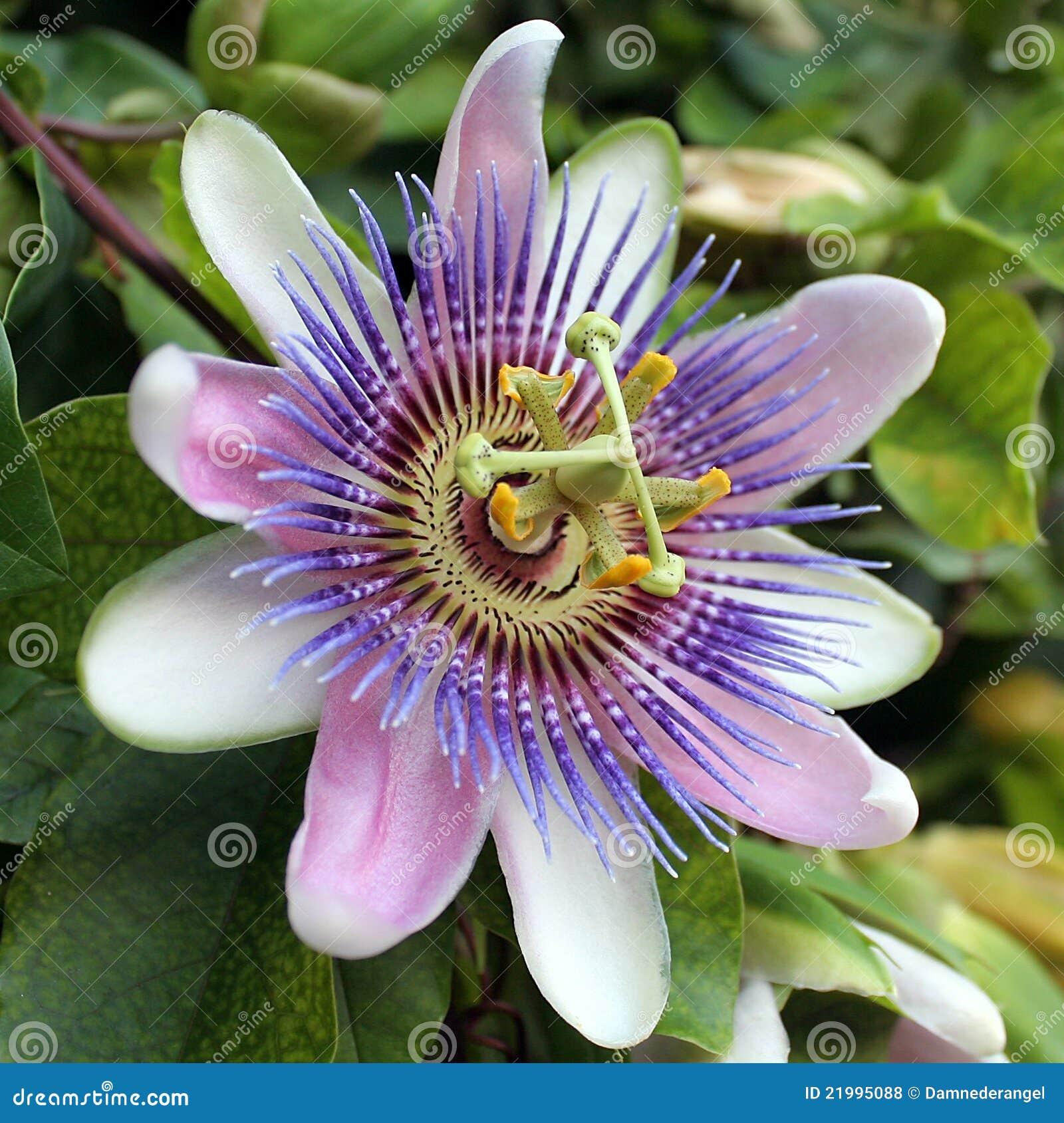 Blue Passion Flower Passiflora Caerulea Stock Photo Image Of