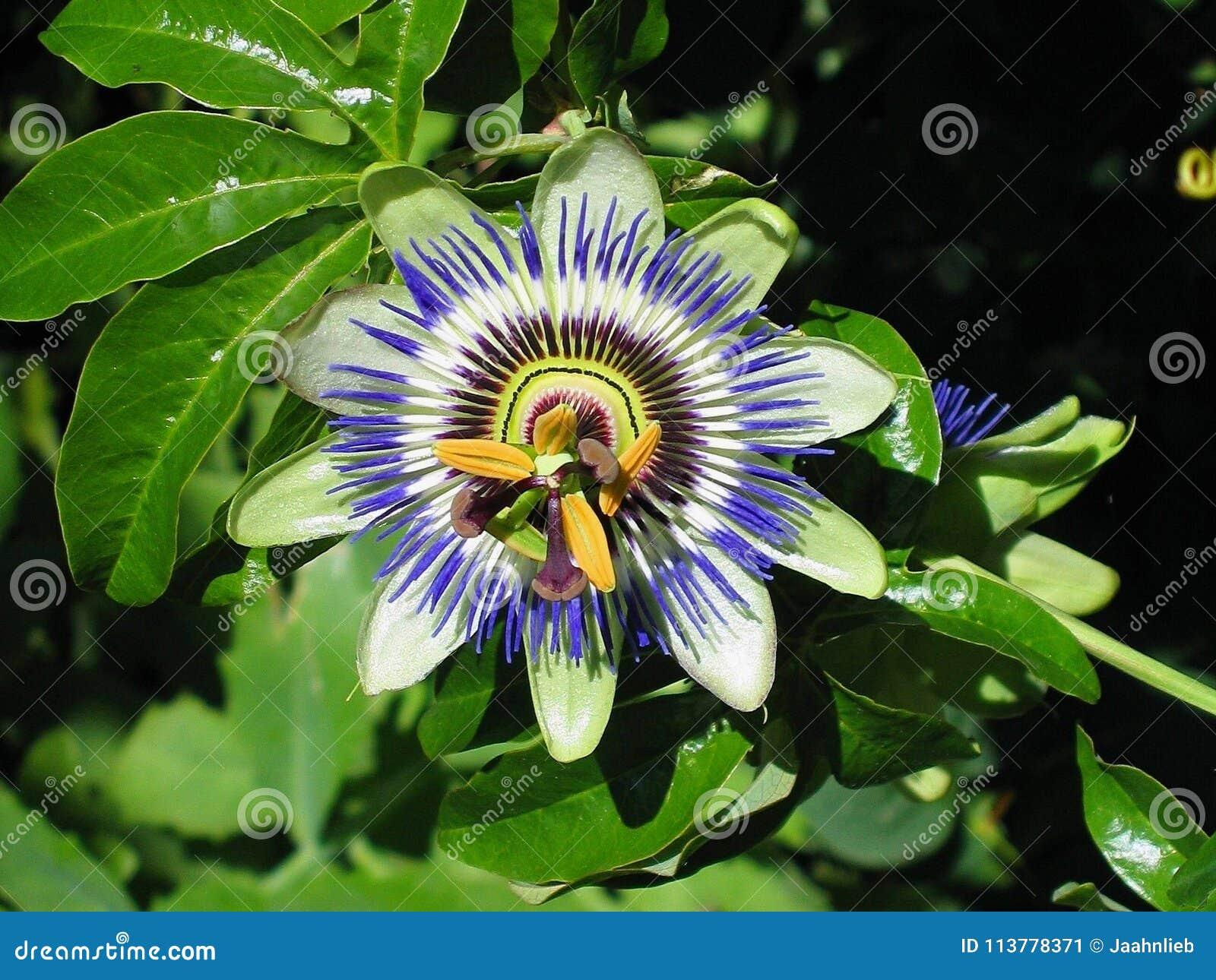 Blue Passion Flower Passiflora Caerulea Stock Image Image Of