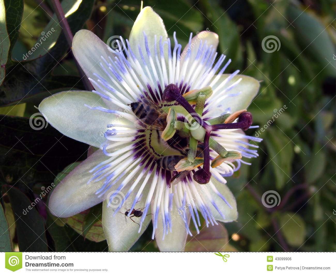 Blue passion flower passiflora stock photo image 43100014 blue passion flower passiflora royalty free stock image dhlflorist Images