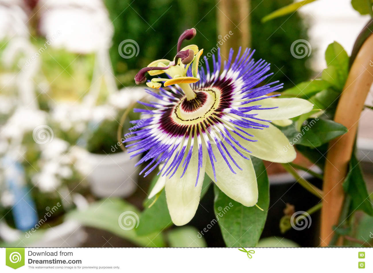 The Blue Passionflower Stock Photo Image Of Passiflora 72212892