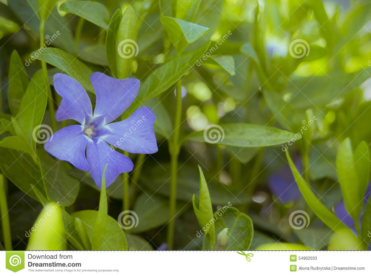 Blue periwinkle flower on a bush stock image image of grass download blue periwinkle flower on a bush stock image image of grass flower izmirmasajfo