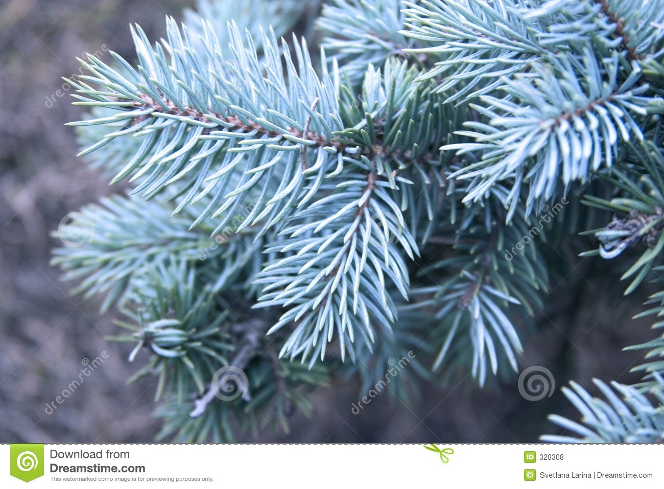 Royalty Free Stock Photos Blue Pine Tree Image320308 on design of pine trees