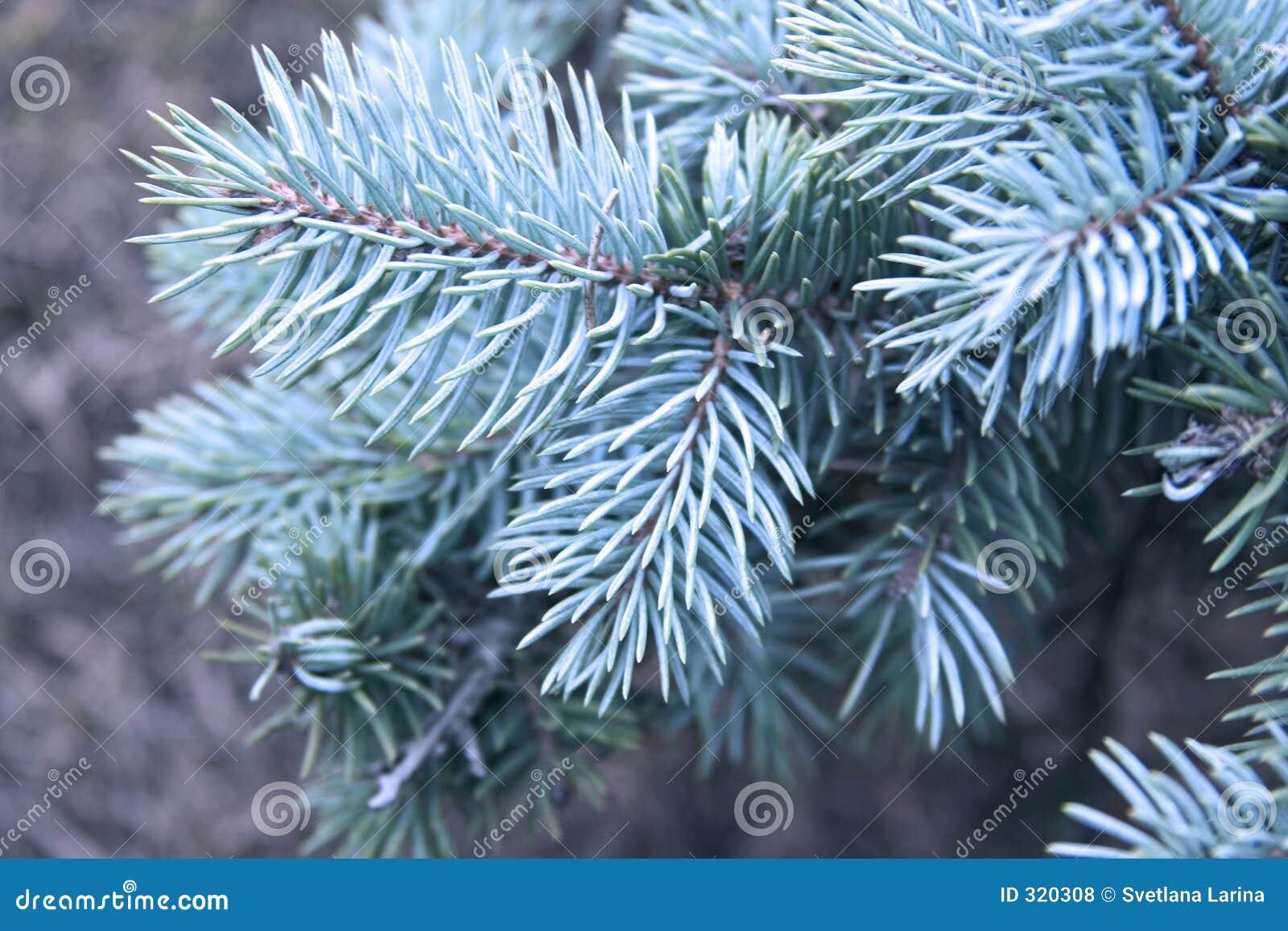 Blue Pine Tree Royalty Free Stock Photos - Image: 320308