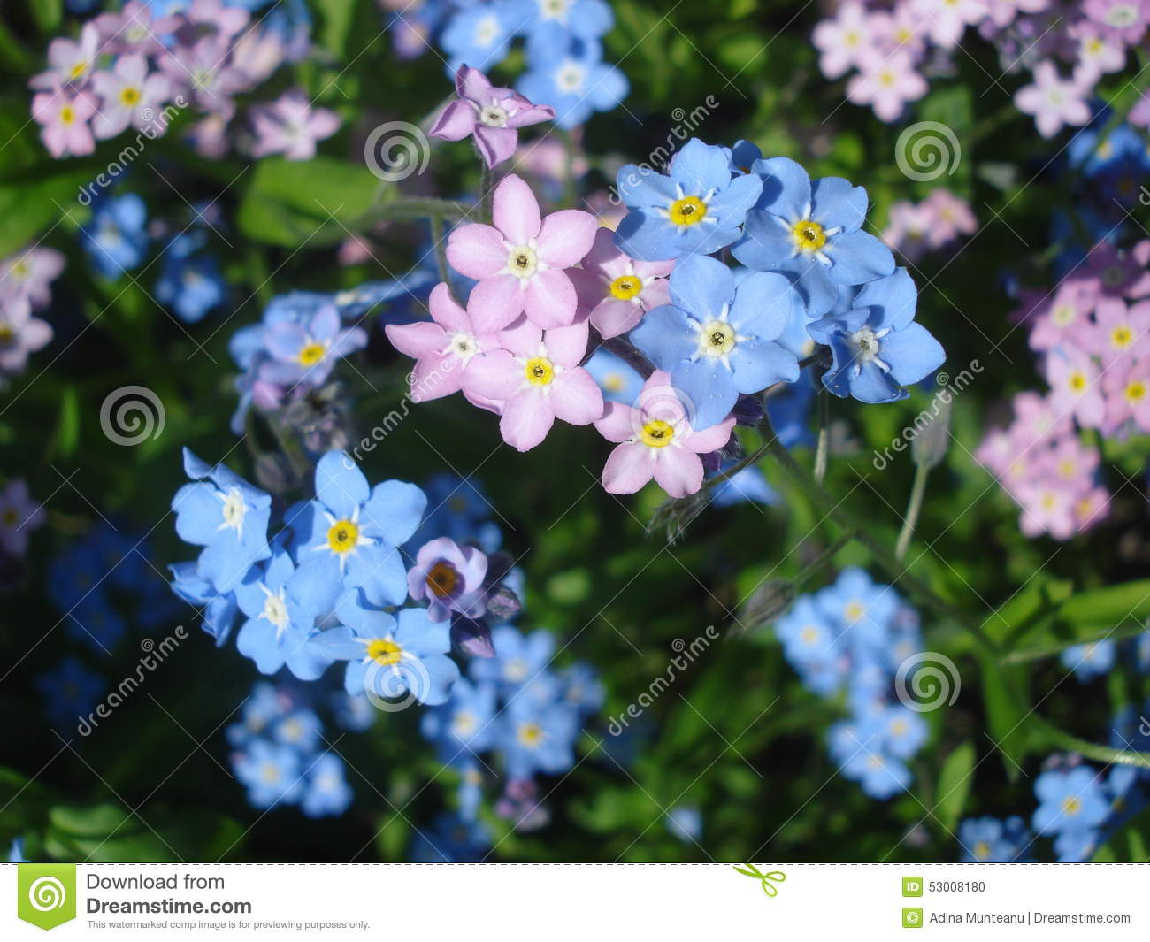 Blue and pink forget me not flowers stock photo image of flower download blue and pink forget me not flowers stock photo image of flower mightylinksfo