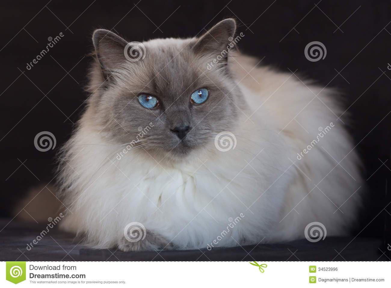 blue point ragdoll with black background stock photo image of