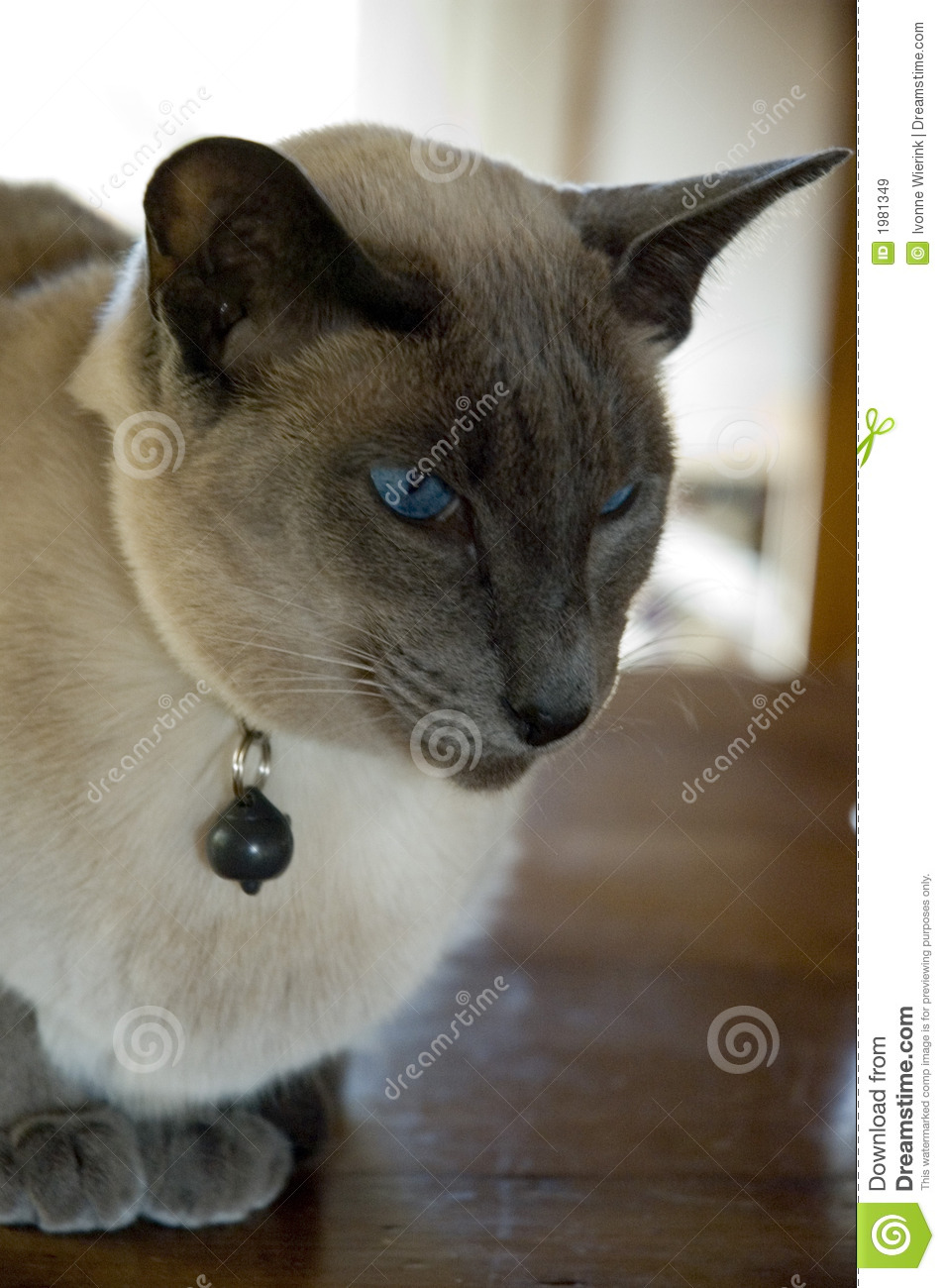 Blue point siamese cat stock image. Image of scowling ...