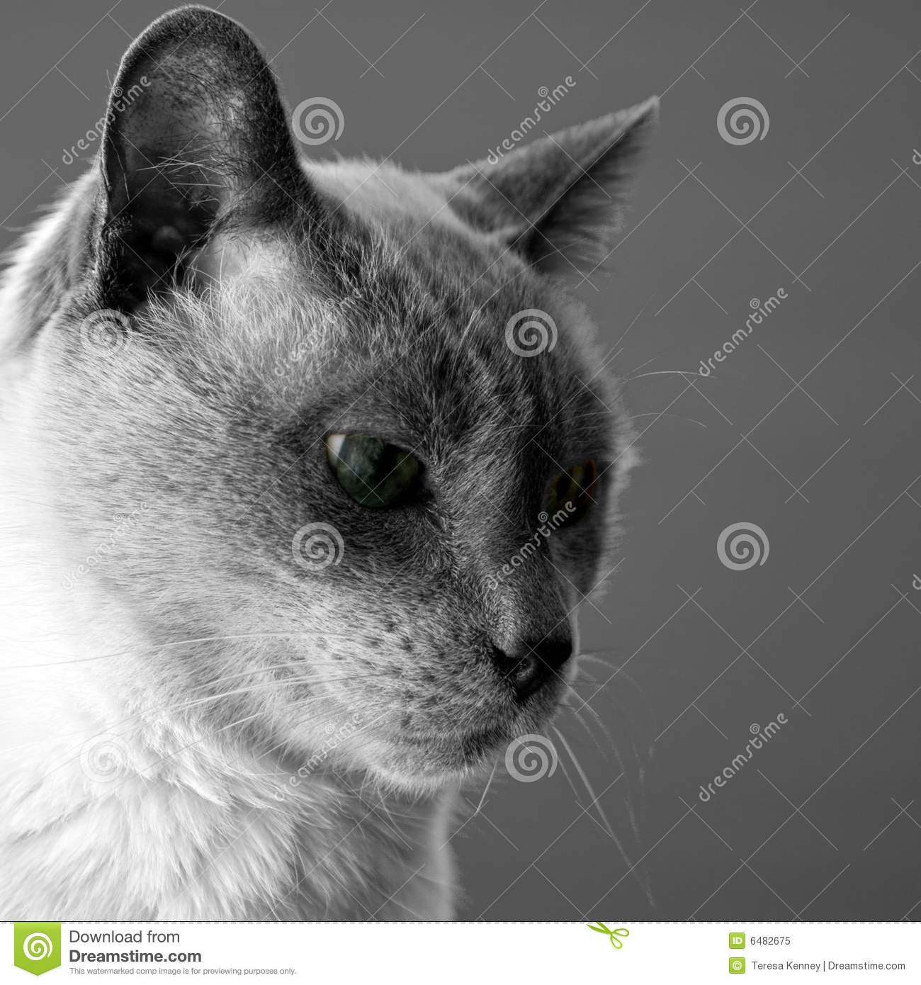 Siamese Blue Point Cat Stock Photos, Images, & Pictures - 492 Images