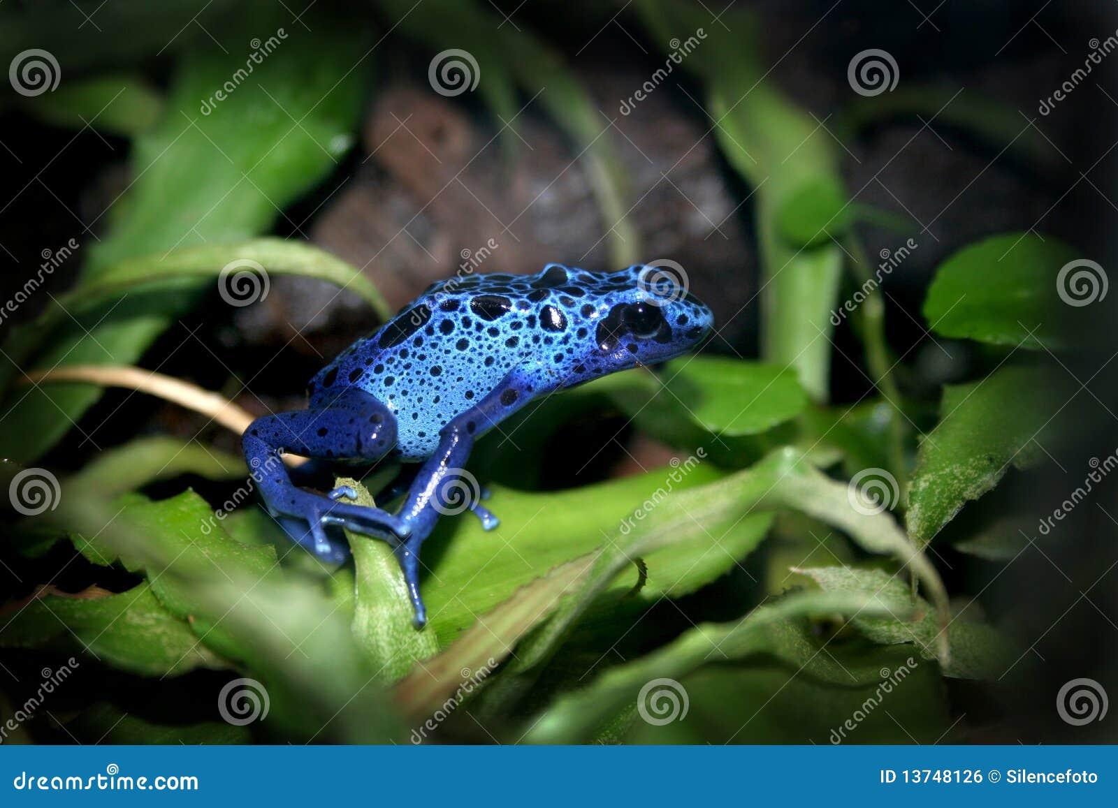 Blue Poison Dart Frog Stock Photo Image Of Foliage Light 13748126
