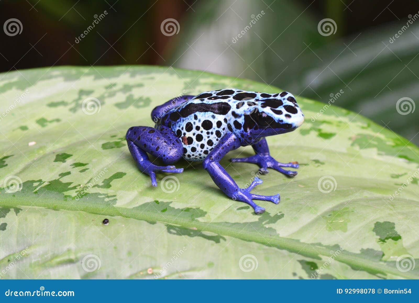 A blue Poison dart frog on a leaf.