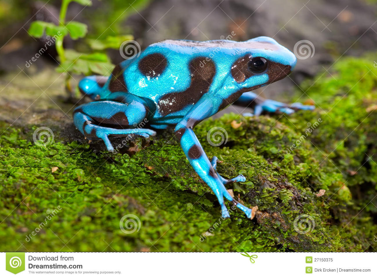 Frog hibian in female colombian horned frog, hibians can disqus