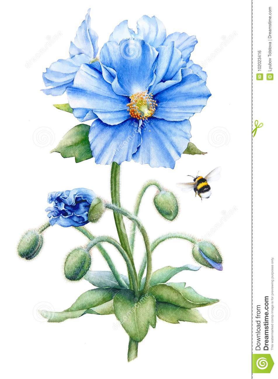 Blue Poppy Stock Illustration Illustration Of Large 102023416
