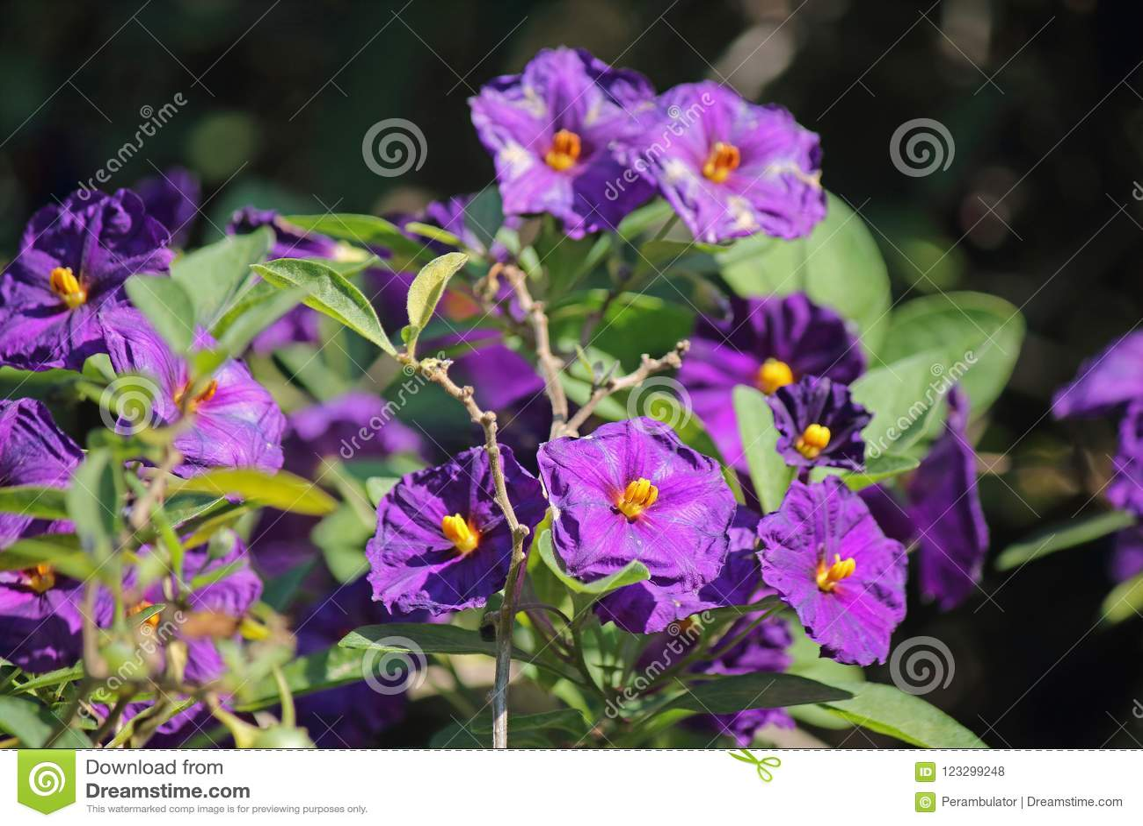 Blue Potato Bush Shrub With Purple Flowers Stock Photo Image Of