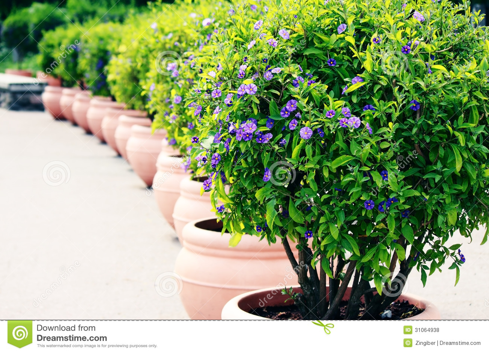 blue potato bush solanum rantonnetii royalty free stock. Black Bedroom Furniture Sets. Home Design Ideas