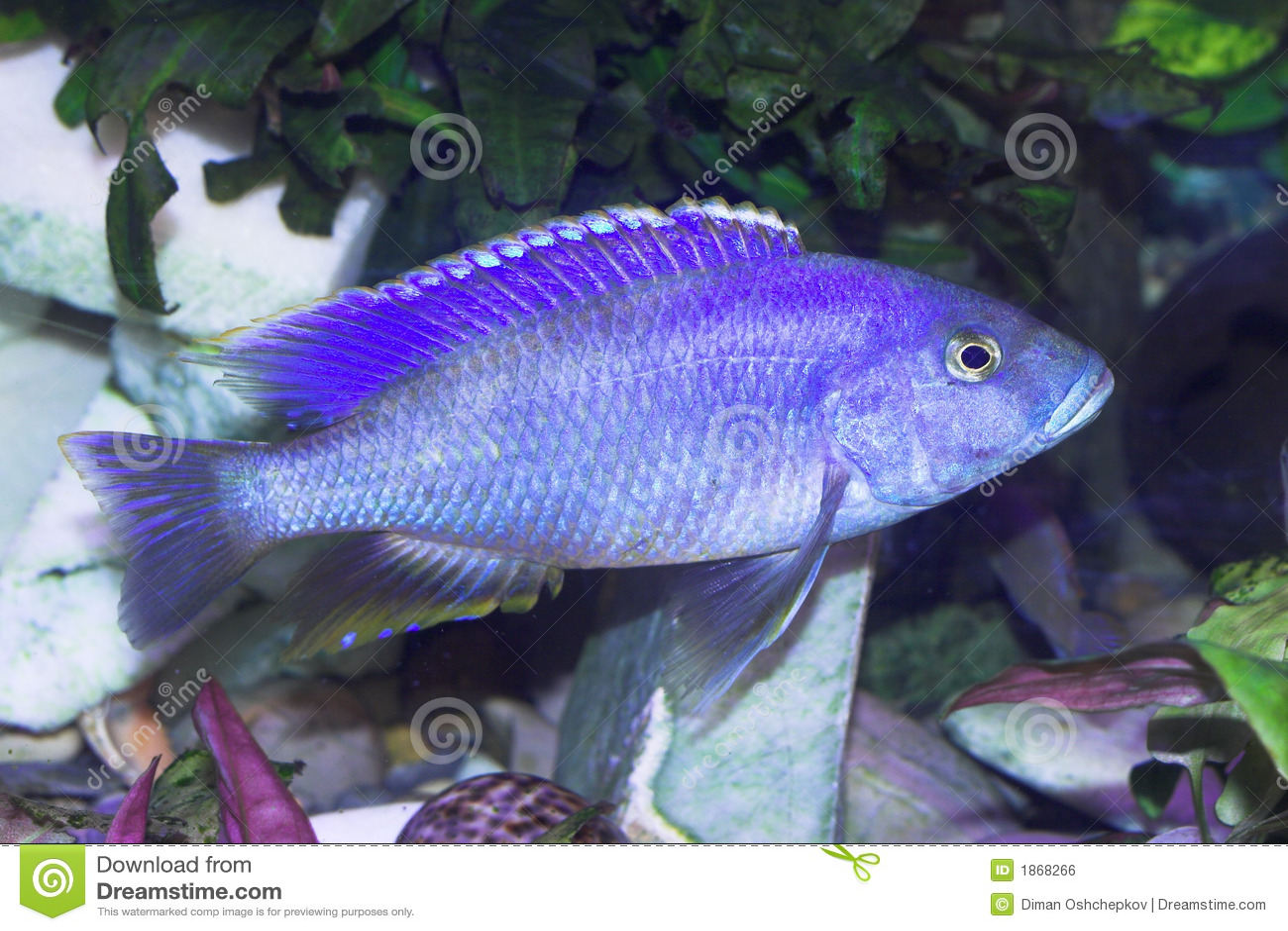 Blue predator fish royalty free stock image image 1868266 for Koi fish predators