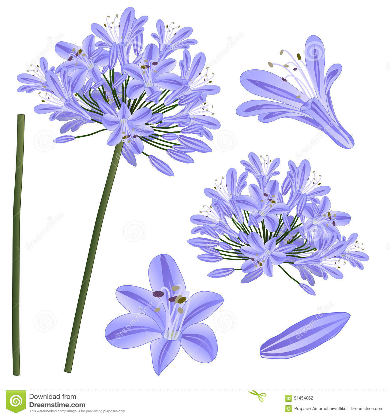 Blue Purple Agapanthus Lily Of The Nile African Lily Vector