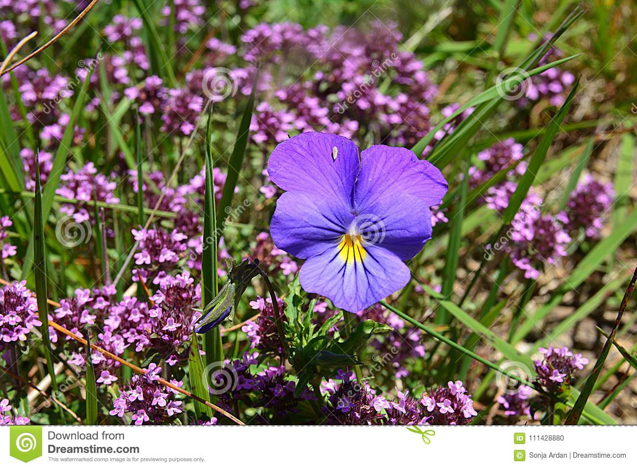 Larger blue purple flower in the group of small purple flower stock blue purple flower with yellow center viola tricolor also known as heartsease acts as a giant next to the smaller blossoms of the thymus serpyllum mightylinksfo