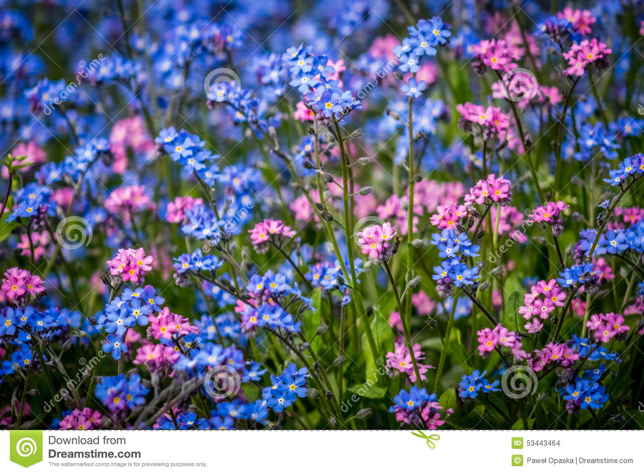 blue and purple forget me nots flowers stock photo image 53443464. Black Bedroom Furniture Sets. Home Design Ideas