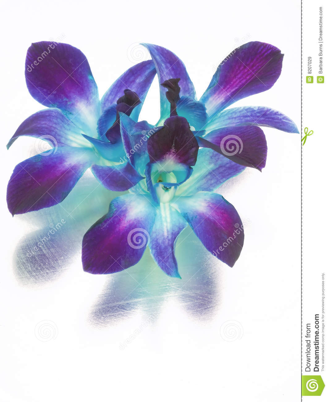 Blue And Purple Orchids Stock Image Image Of Blooms Bloom 8207029