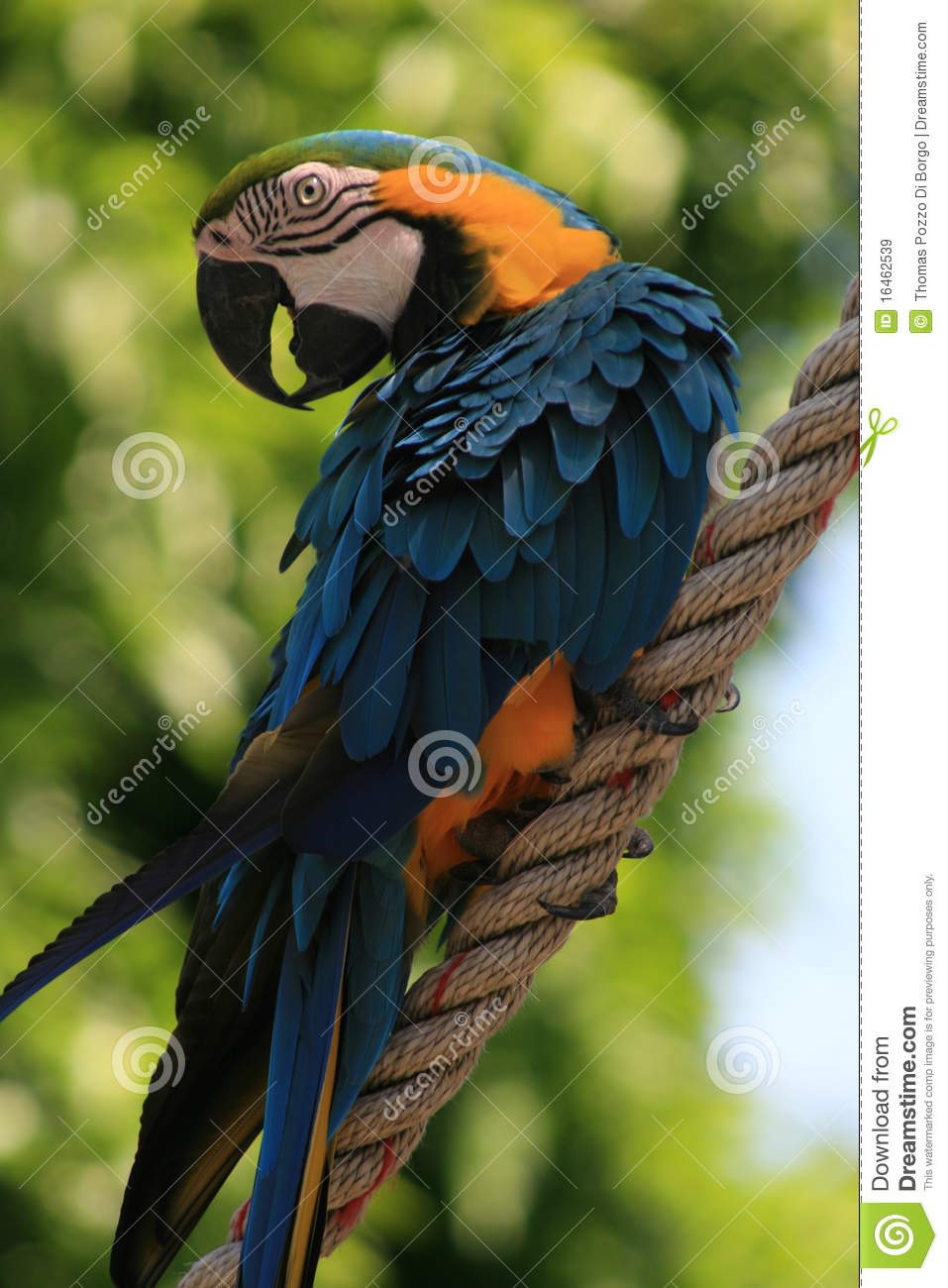 Blue and red tropical parrot