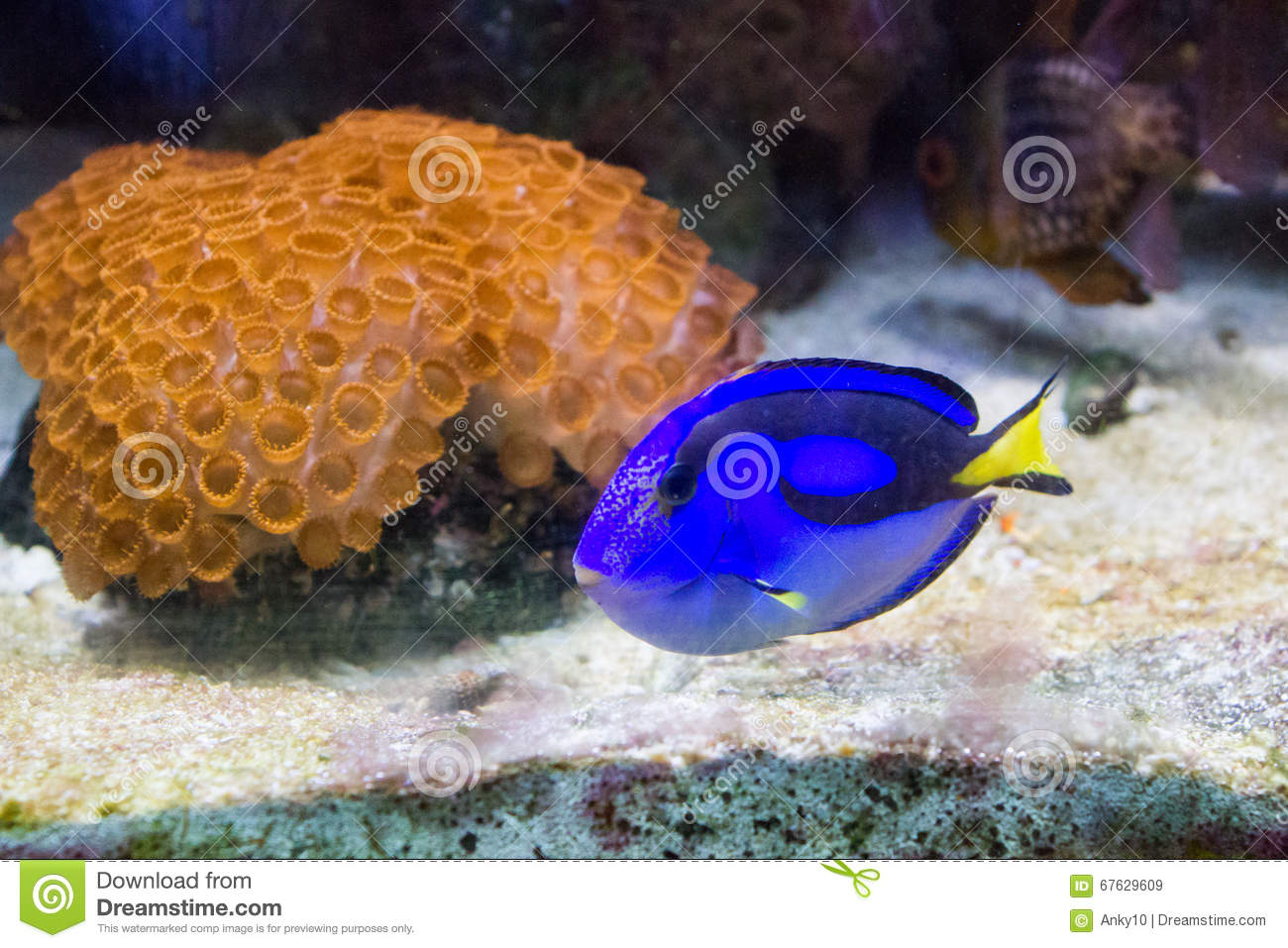 Blue regal tang stock image image of finding for Blue tang fish price