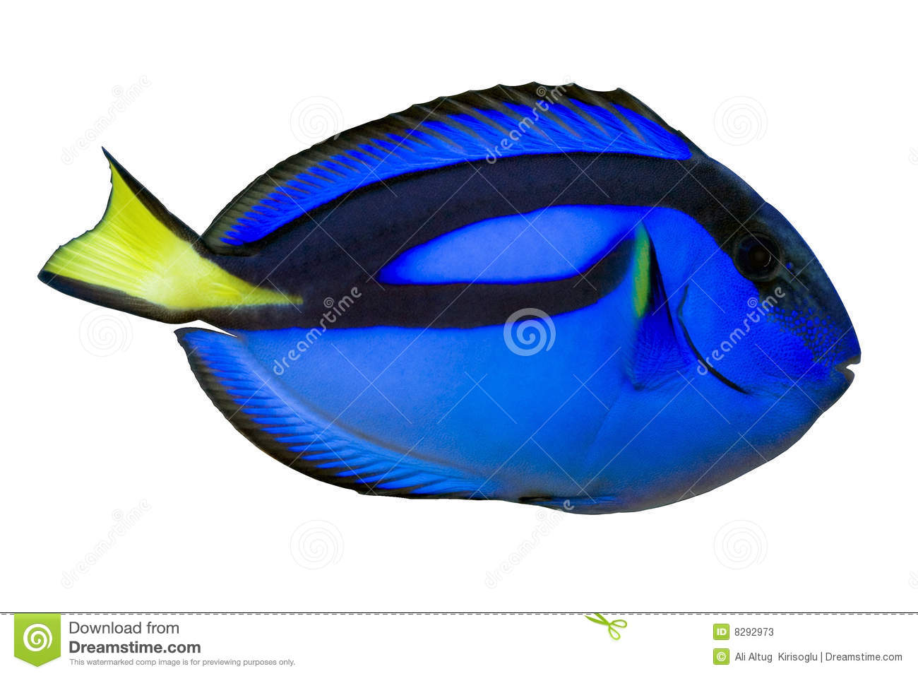 Blue regal tang paracanthurus hepatus isolated stock for Blue tang fish price