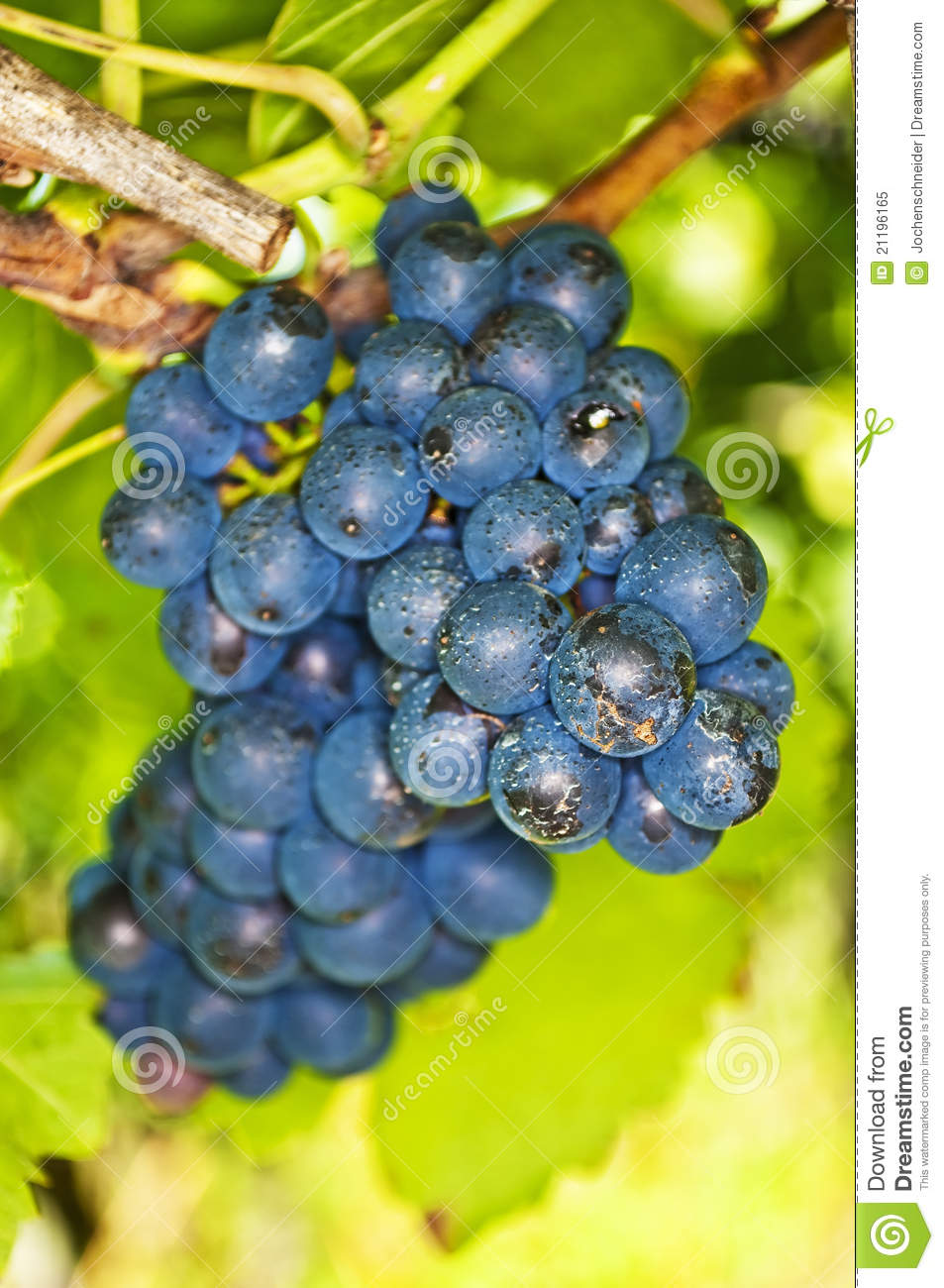 Blue ripe grapes