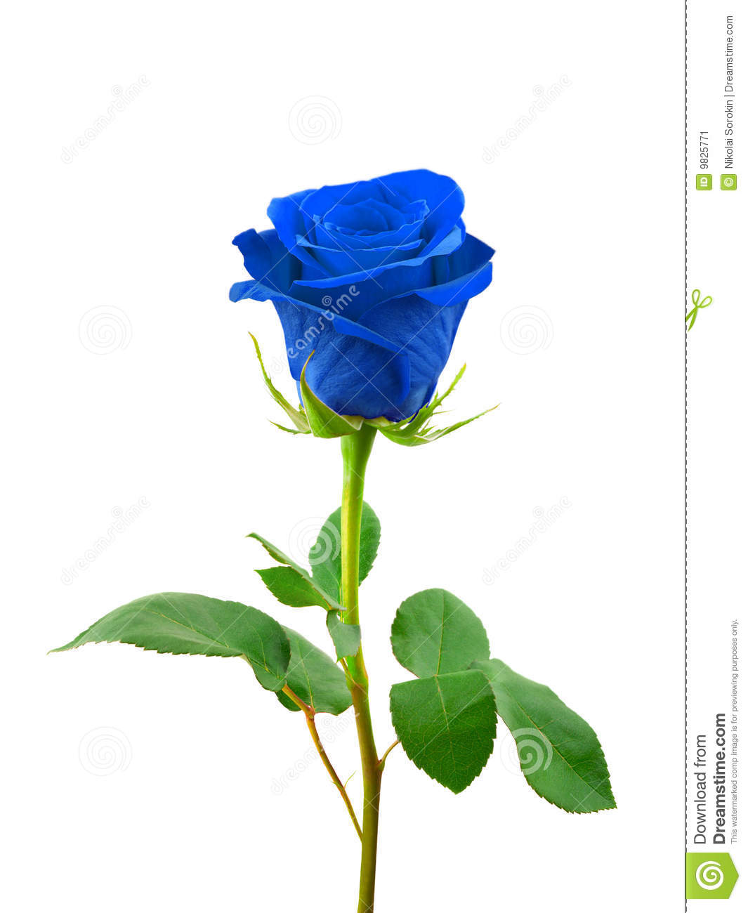 Blue Rose Stock Image Image Of Floral Green Gift Color 9825771
