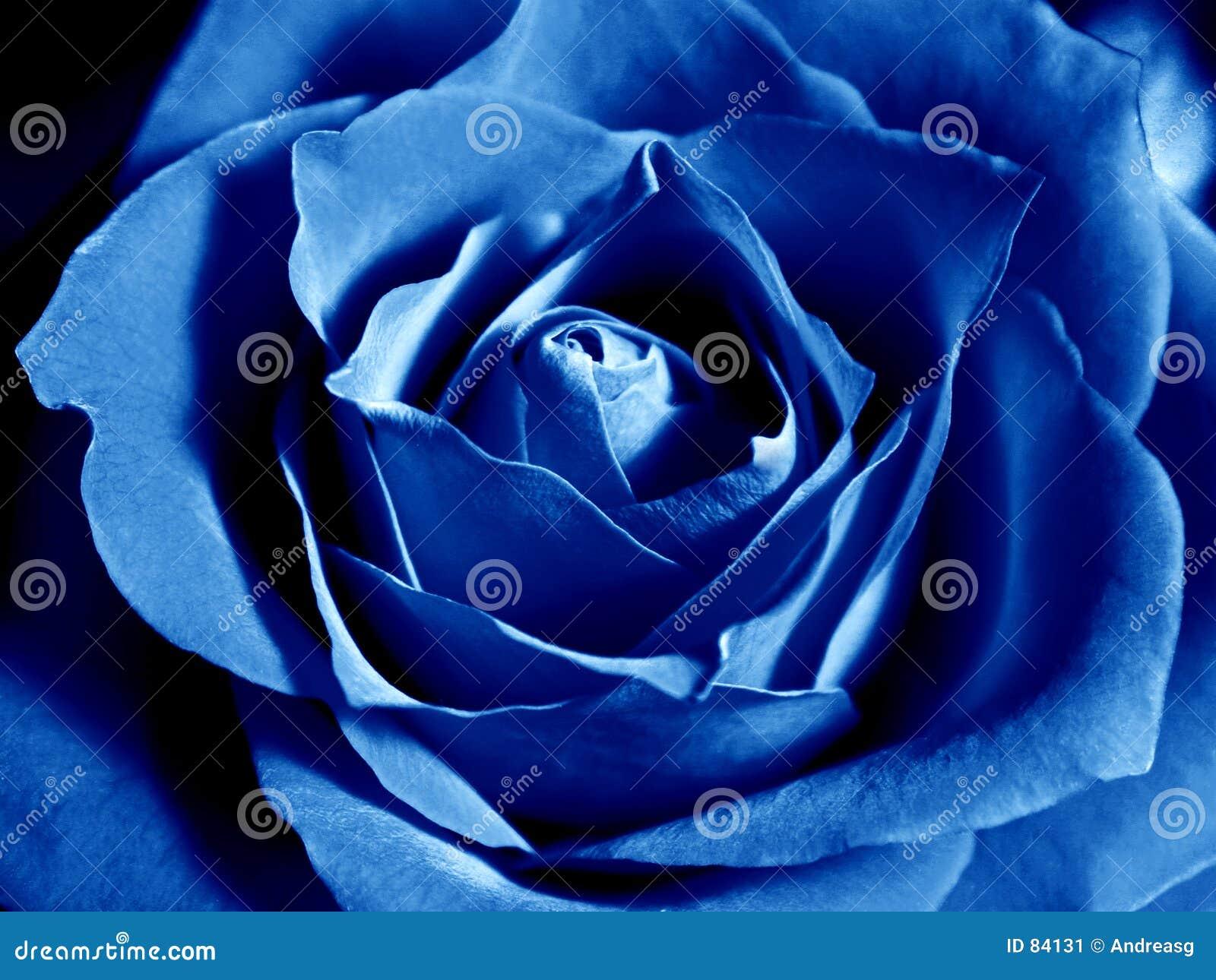 Blue rose głęboko
