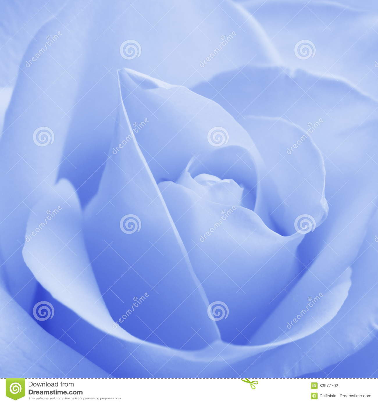 blue rose - stock photos stock photo. image of concept - 83977702