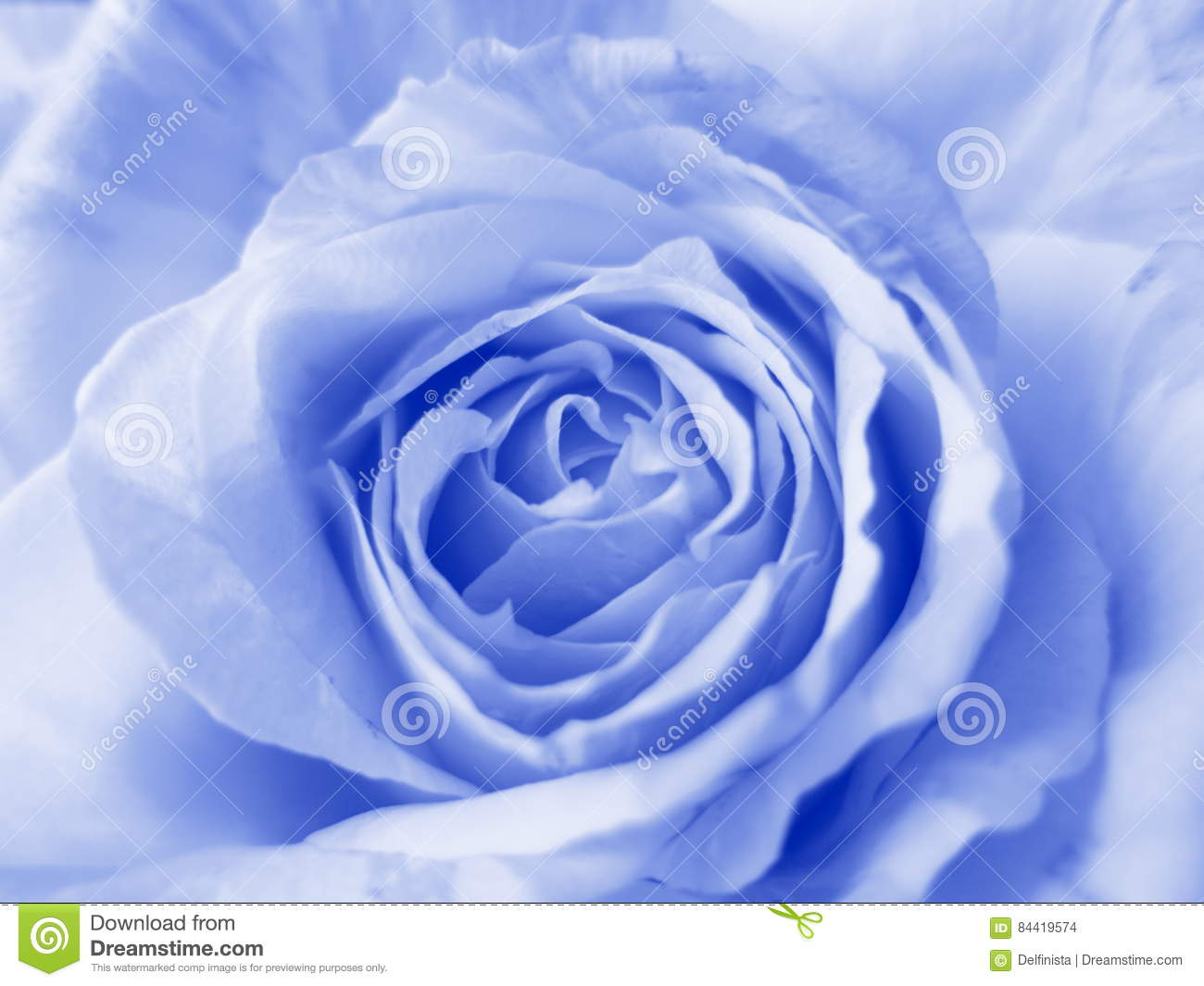 Blue Rose - Stock Photos