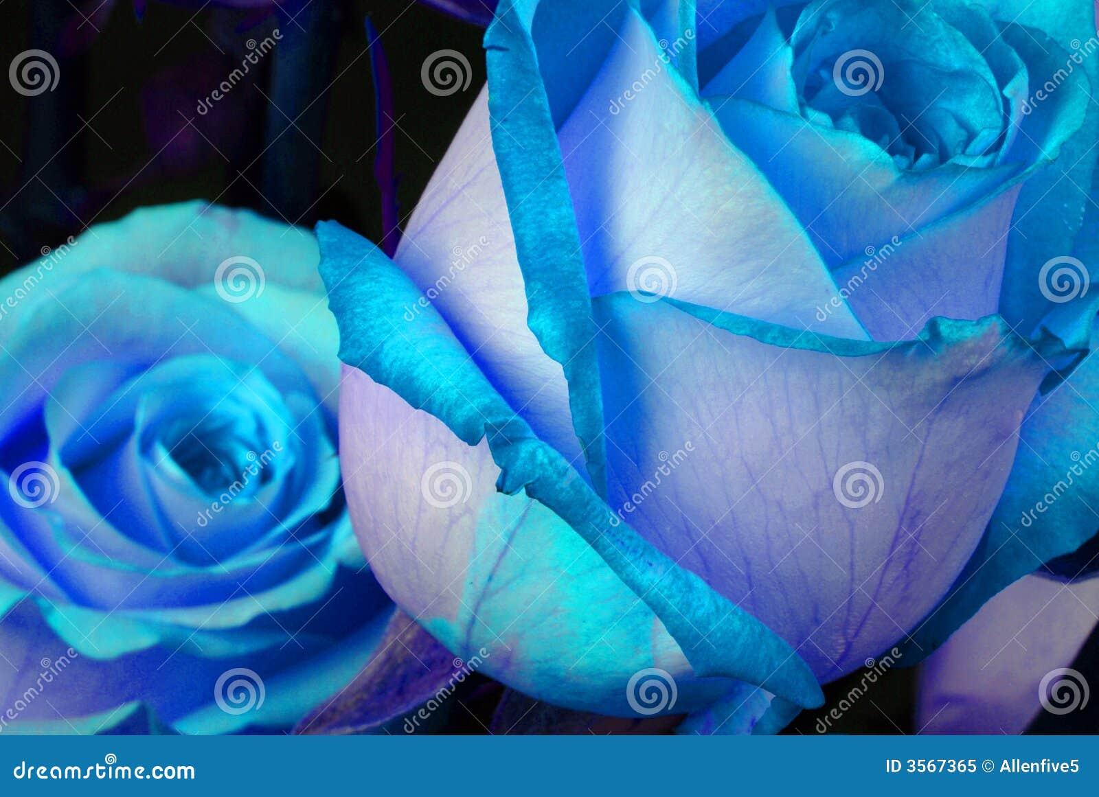 Blue Roses Stock Image Image Of Petal Macro Abstract 3567365