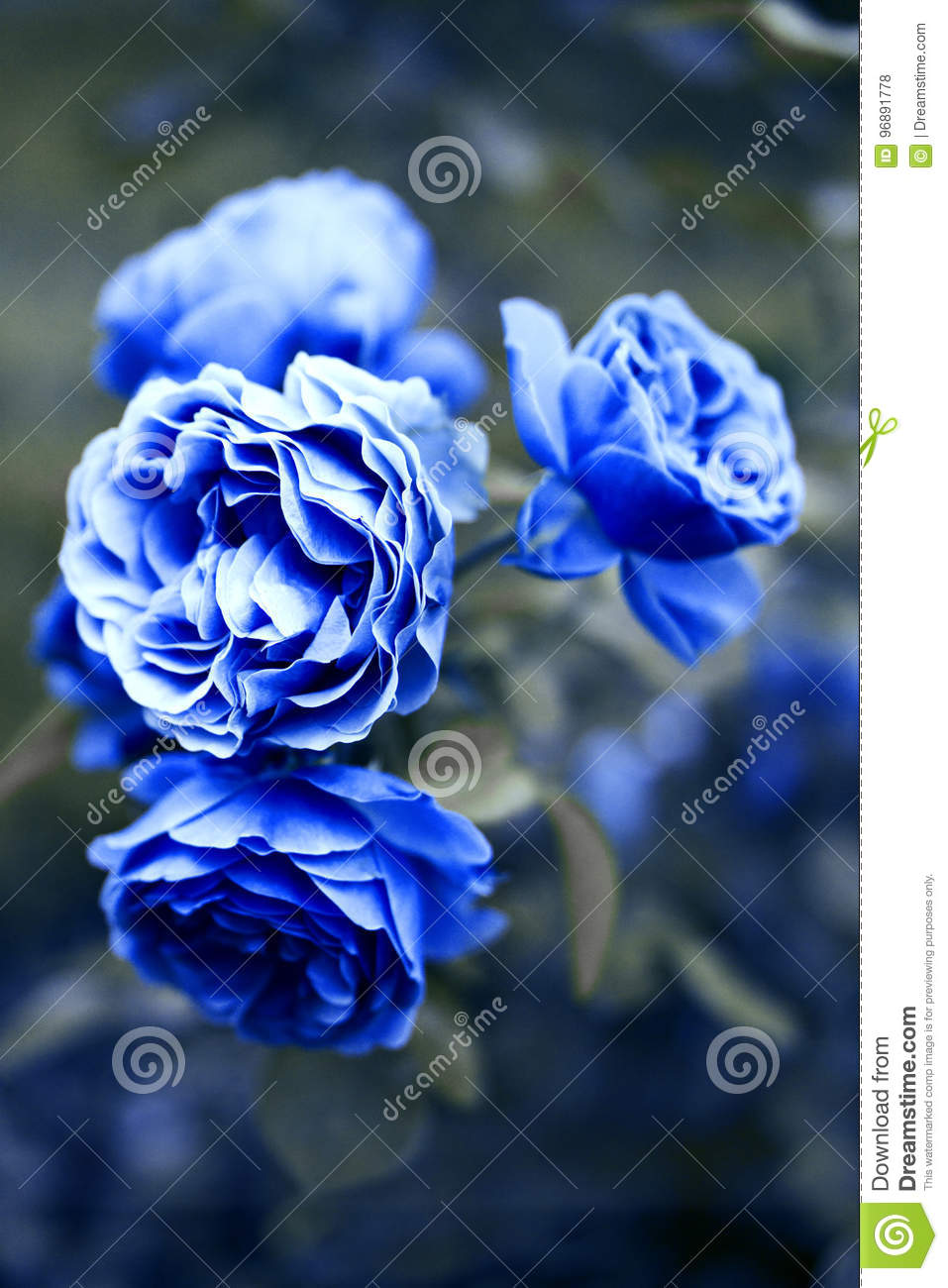 Blue roses blooming in the garden