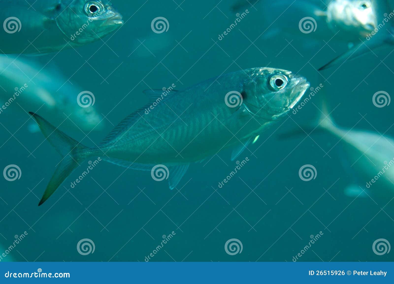 Blue runner royalty free stock image image 26515926 for Blue runner fish