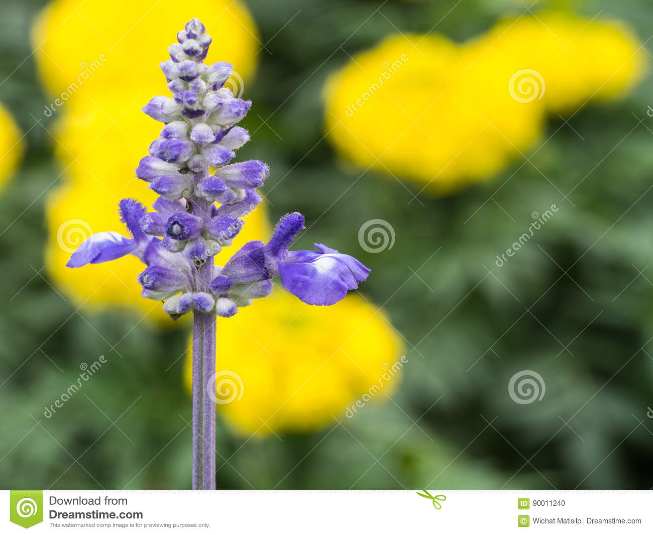 Blue Sage Flower In Yellow Flowers Stock Photo Image Of Fresh