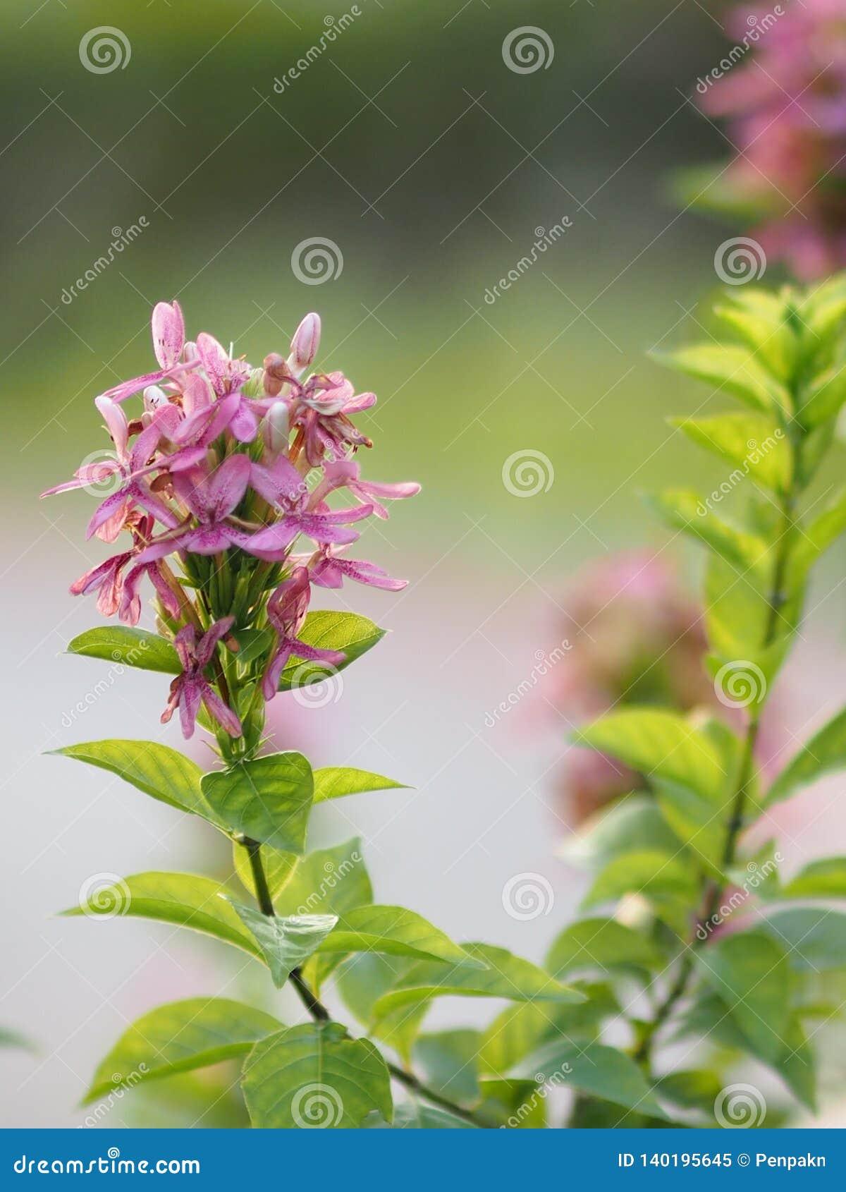 Blue sage Violet ixora flower Pseuderanthem andersonii Lindau ACANTHACEAE on blur background space for write