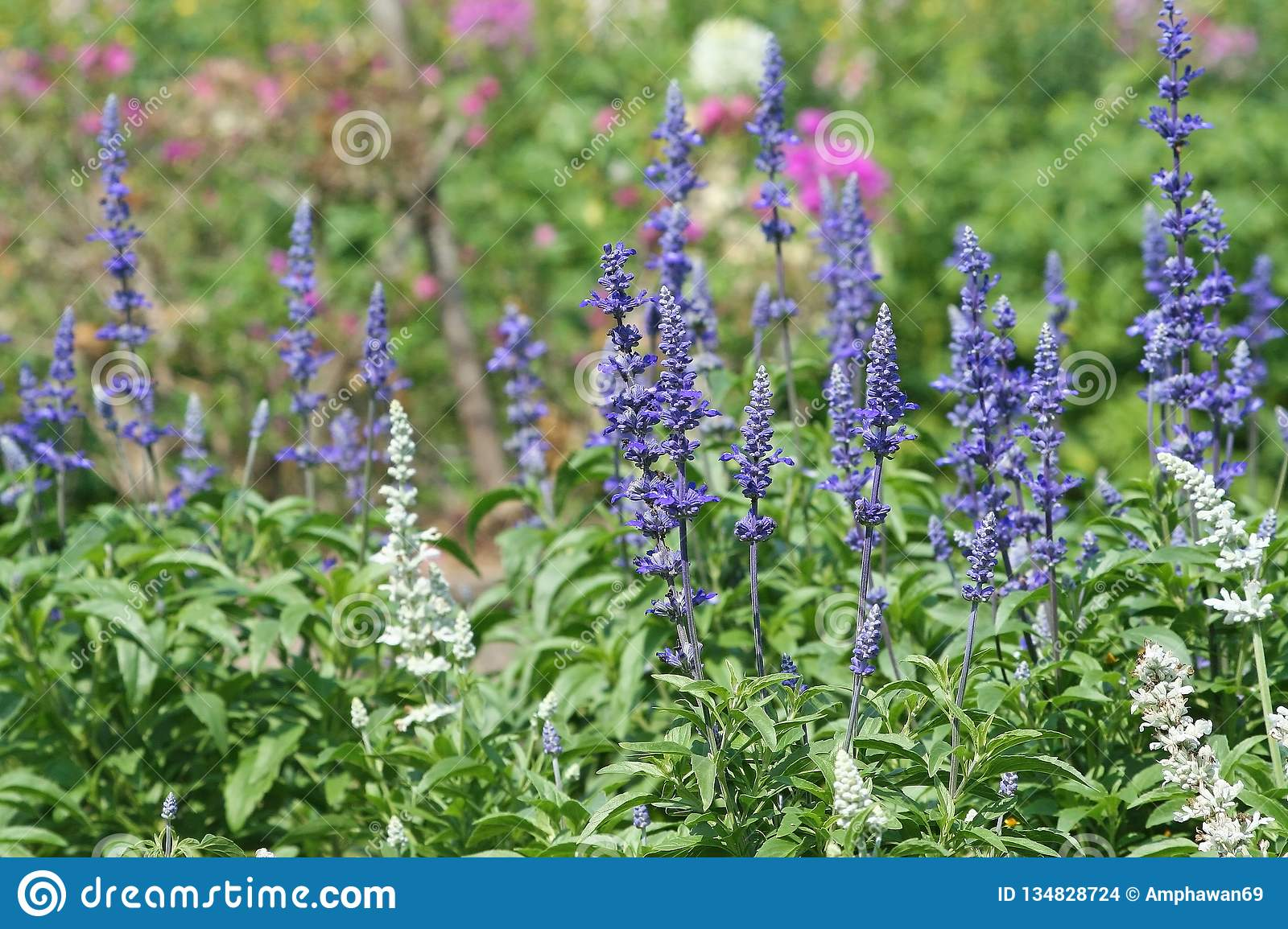 Blue salvia blooming