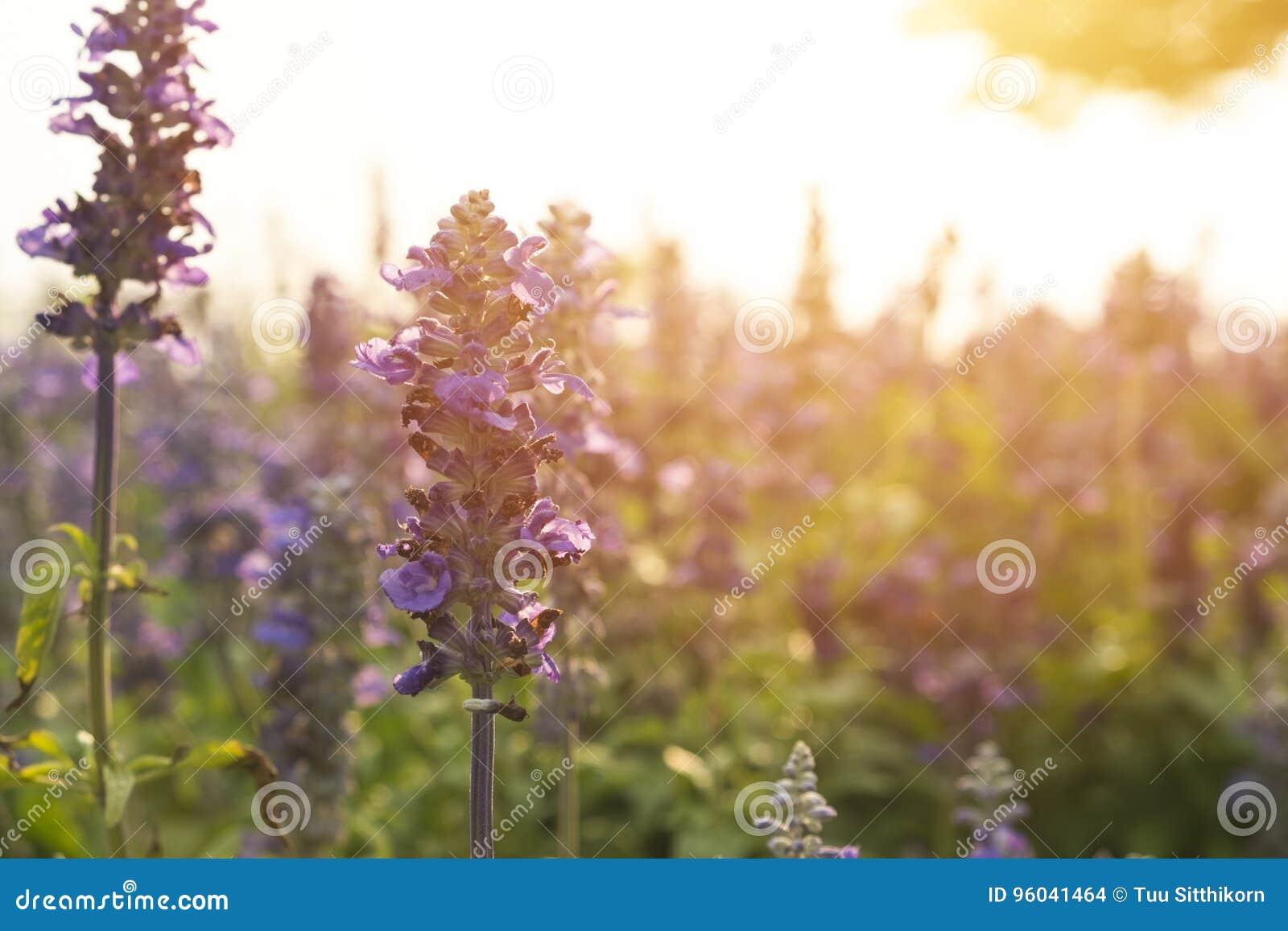 Blue Salvia garden