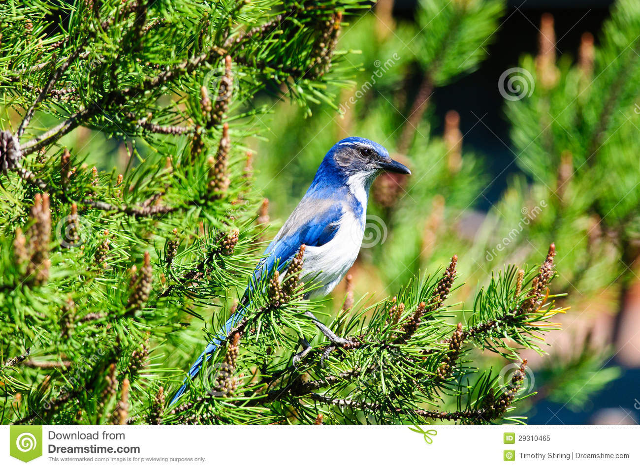 Download Blue Scrub Jay stock image. Image of close, endangered - 29310465