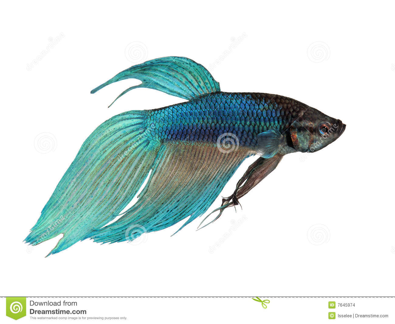 Blue siamese fighting fish stock photo image of aquatic for Fighting betta fish