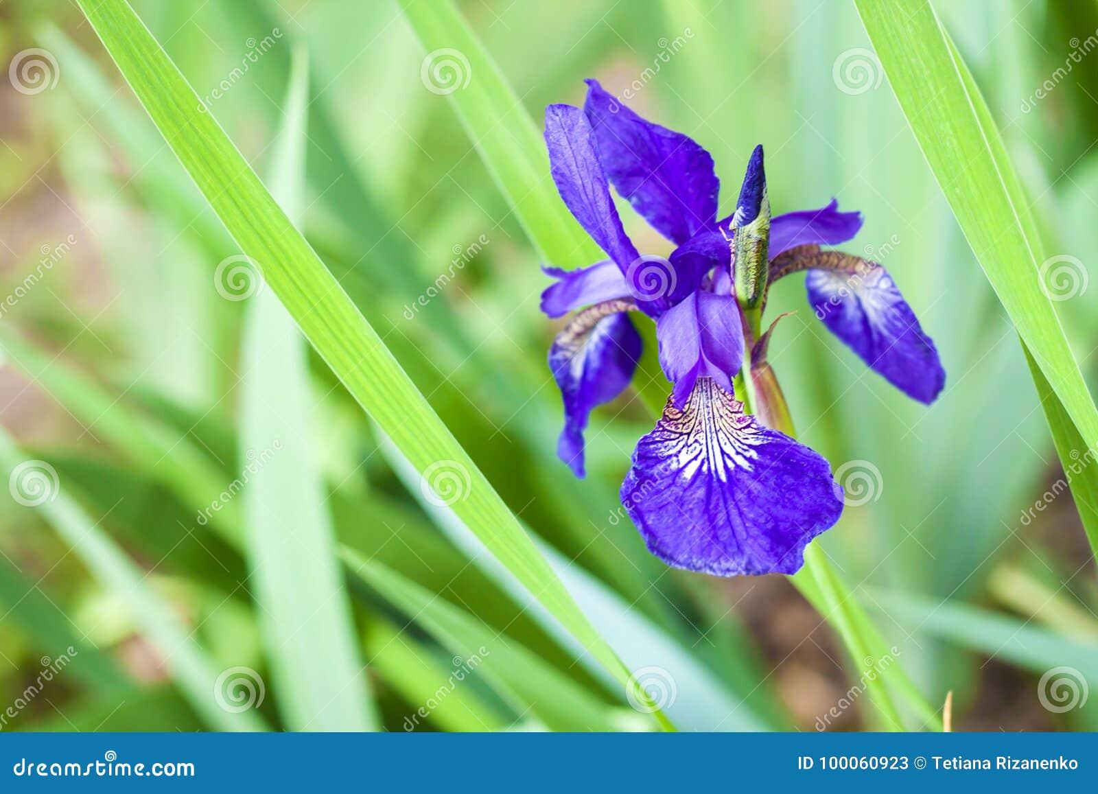 Blue siberian iris flower closeup stock image image of decorative blue siberian iris flower closeup izmirmasajfo