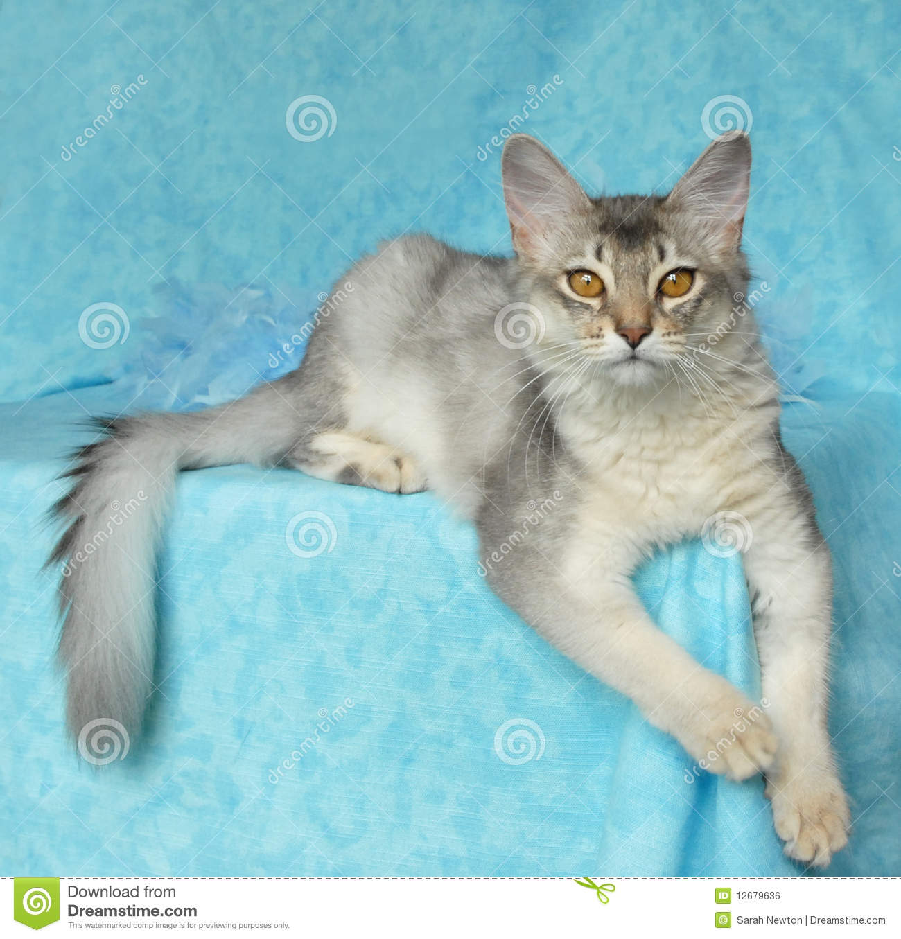 dc00c38a083 Blue silver somali. Cat lying on a blue background royalty free stock image