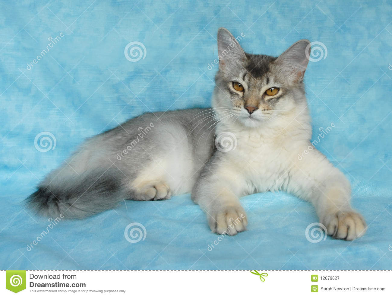 ba798bcd0ca Blue Silver Somali Cat Stock Images - Download 26 Royalty Free Photos