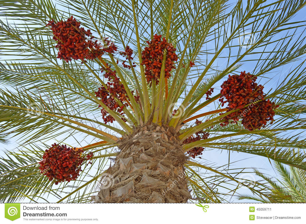 Red Dates Palm Tree Palms Stock Image Image Of Blue 45059711