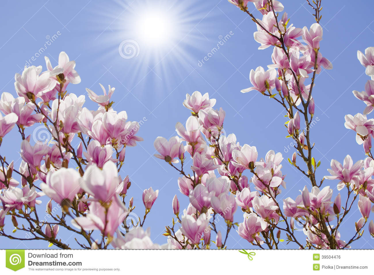 Blue sky with magnolia blossom