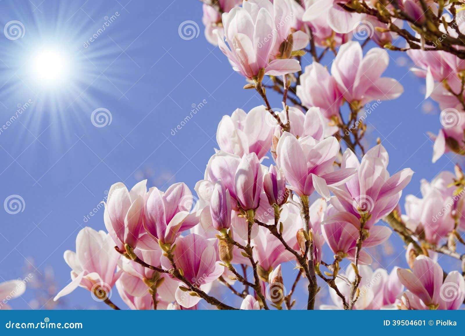 Blue sky with magnolia blossom