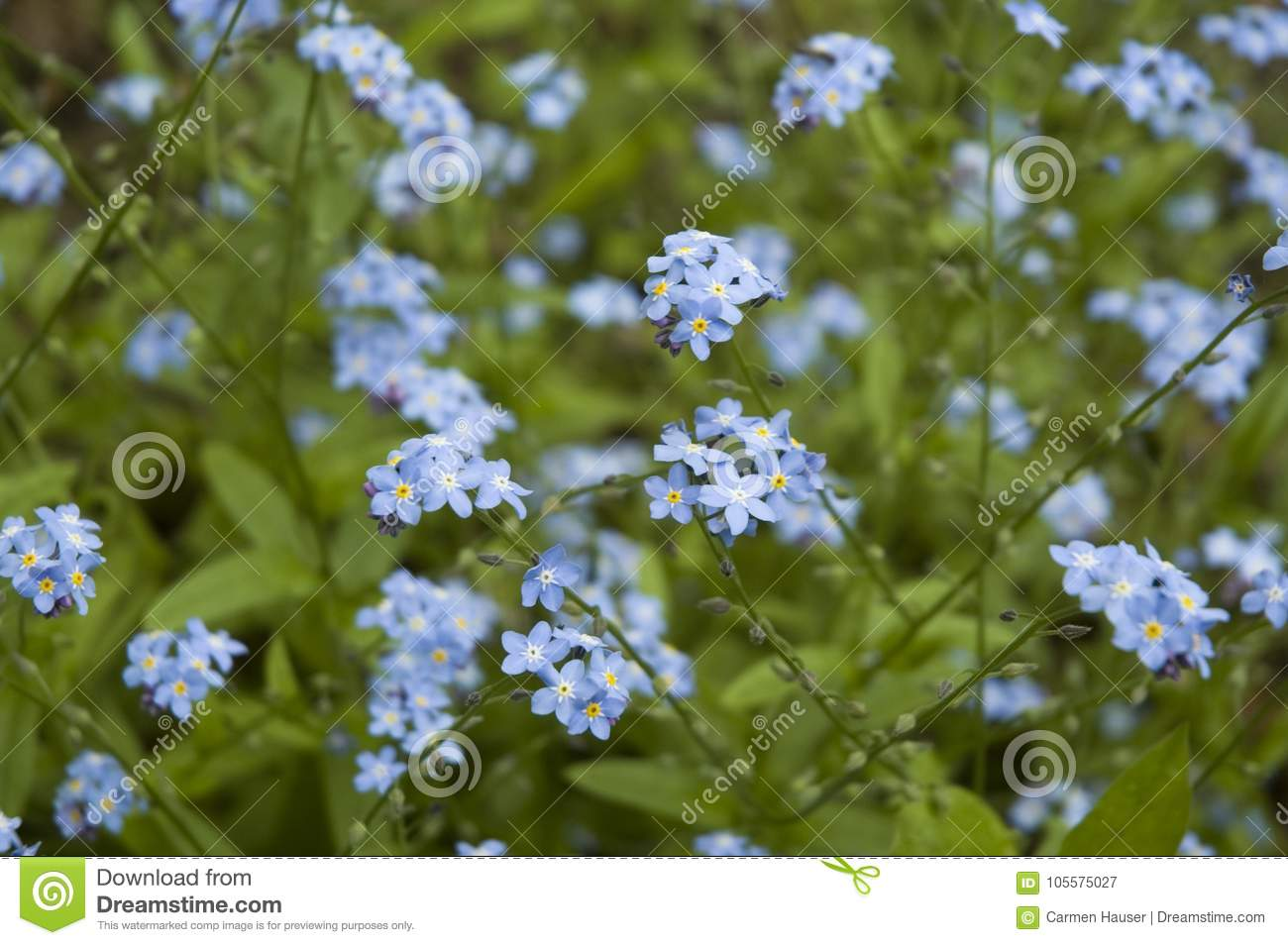 Blue Small Flowers Of A Forget Me Not Stock Image Image Of