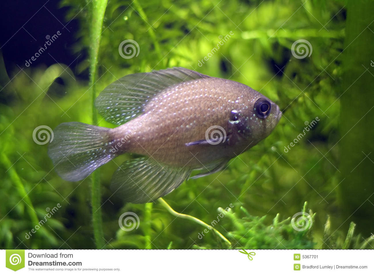 Blue Spotted Sunfish Stock Image - Image: 5367701