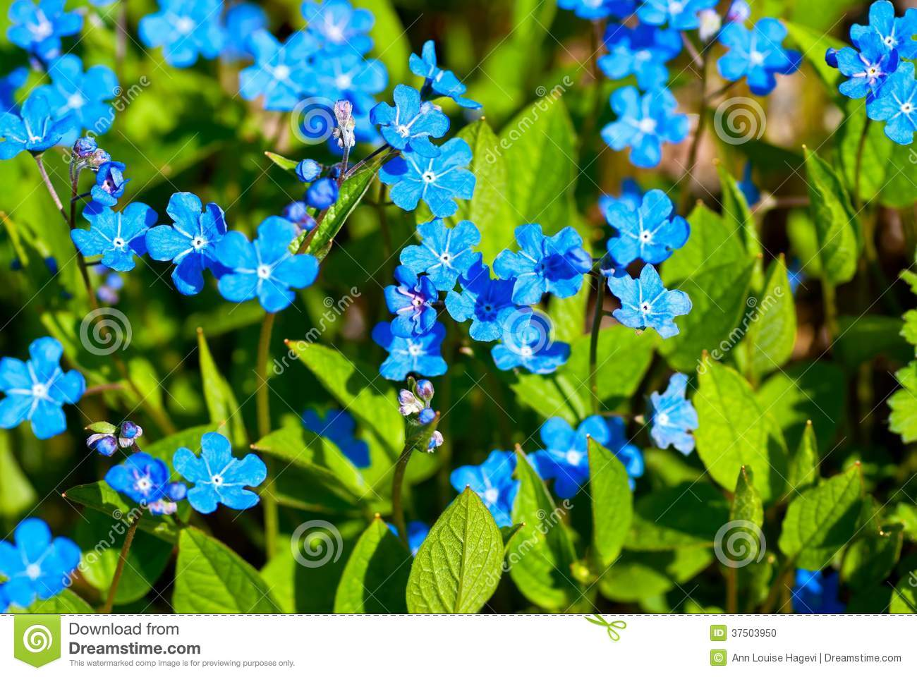 Blue spring flowers stock photo image of flora perennial 37503950 blue spring flowers mightylinksfo